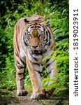 Small photo of The tiger is a wild animal, which has been declared a national animal by the Indian government in India. It is believed to be the most ruthless wild animal, making everyone fearful.