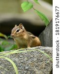 Portrait Of A Chipmunk On A Rock