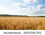 Oat Cereal Fields With Blue Sky ...