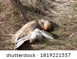 Dead Barn Owl Lies In A Bed Of...