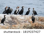 Double Crested Cormorant...