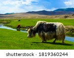 Yaks In Steppes Of Mongolia...