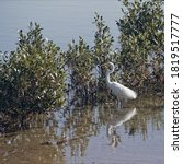 Eastern Great Egret Bird Wading ...