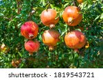 Ripening Fruits Of A...
