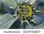 Sunflower Bud Starting To Open