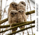 Juvenile Tawny Owls Perched On...