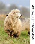 sheep herd in summer meadow | Shutterstock . vector #181966535