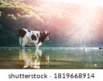 Cow Watering In The River....