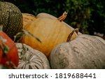 Big Orange Pumkins From An...