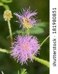 Flowerhead Of A Mimosa Pudica ...