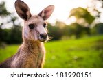 Young Kangaroo On East Coast Of ...