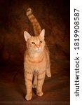 Happy Orange Tabby Cat On A...