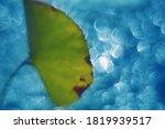 The Green Lotus Leaf ...