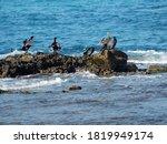 Black Sea Cormorants On The...