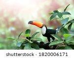 beautiful colorful toucan bird  ...   Shutterstock . vector #1820006171