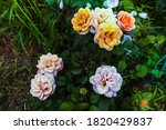 Colorful Roses Against The...