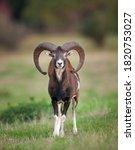 Mouflon On The Meadow. Mouflon...
