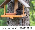 Close Up Cute Black Squirrel ...