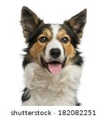 Stock photo close up of a border collie panting facing isolated on white 182082251