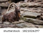 An Alpine Ibex Is Taking A Rest ...