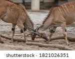 Two Males Of Antelope Are...