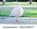 Closeup Pure White Peacock In...