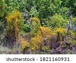 Dodder Grass  An Invasive...