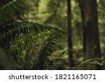Fern In Redwood Tree Forest....