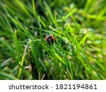 Ladybug Walking In The Grass