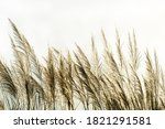 White Reeds Flower Blowing From ...
