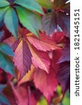 Small photo of Green and red virginia creeper leaves (Parthenocissus tricuspidata) in autumn with selective focus.
