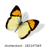 Yellow Orange Tip Butterfly...