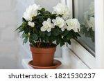 White azalea in a brown...