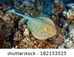 Bluespotted stingray (Taeniura lymma) in the coral reef of the red sea - stock photo