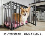 Welsh corgi pembroke dog in an...