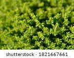 Emerald Green Hebe Leaves  ...