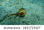 Sea Snail Purple Dye Murex Or...