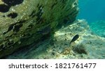Damselfish Or Mediterranean...