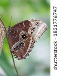Tropical Butterfly  Peleides...