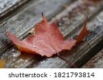 A Red Maple Leaf Close Up Lies...