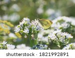 Beautiful Pale Yellow Butterfl...