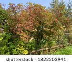 Red Viburnum Branch In A...