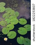 A Small White Water Lily And...