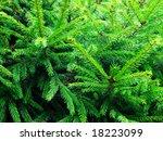 green prickly fir tree branches ... | Shutterstock . vector #18223099