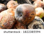 Rotten Apples With Mold. The...