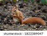 Sciurus. Rodent. The Squirrel...