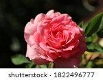 Beautiful Light Pink Roses....