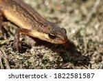 Close Up Photo Of A Salamander...