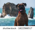 Boxer Dog With A Nice Sea View...