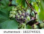 Grape Disease. White Grapes Rot ...